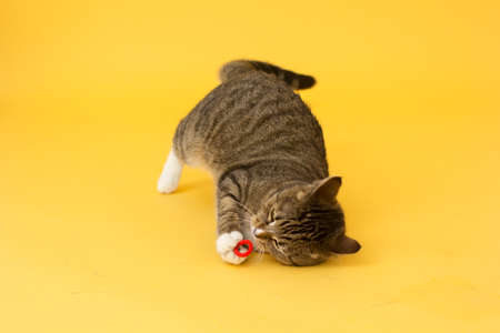 Tabby adult cat plays with ball isolated on yellow