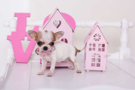 chihuahua puppy: Chihuahua puppy is standing near pink houses