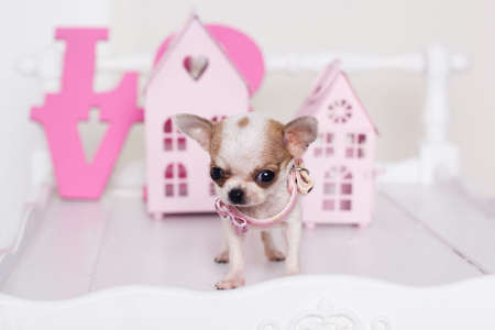 spotty: Chihuahua cute spotty puppy is standing near pink decorative houses