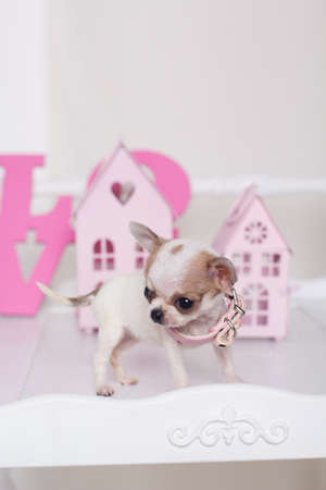 spotty: Chihuahua cute spotty puppy is standing near little pink decorative houses