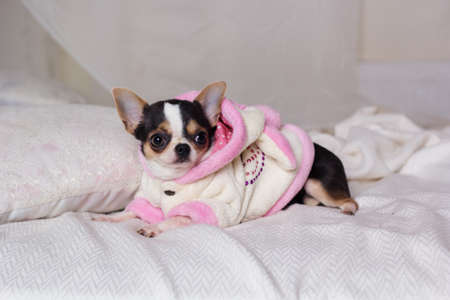 house robes: Chihuahua cute dog is lying on bed Stock Photo