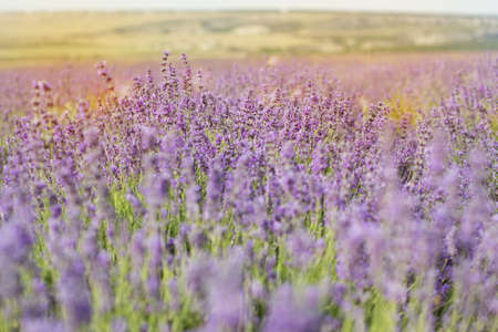 lavande: Closeup picture of fields of lavender flowers in Crimea