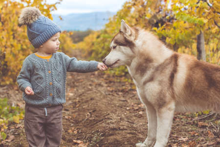 Pretty baby boy is walking in autumn vineyrad with husky dog