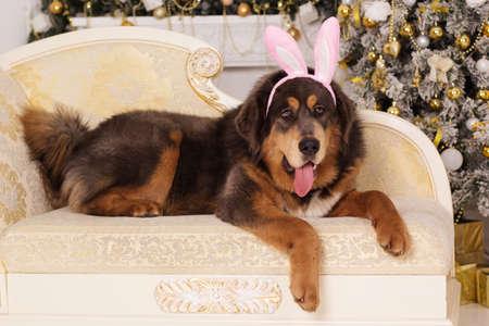 Puppy of big brown tibetan mastiff is wearing pink rabbit ears sitting on sofa , christmas concept Stock Photo