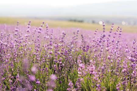 campo de flores: P�rpuras hermosos campos de flores de lavanda, Crimea Foto de archivo