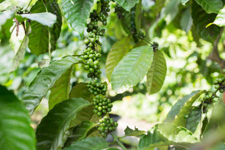 Green coffee beans growing on the branch in Indonesia.