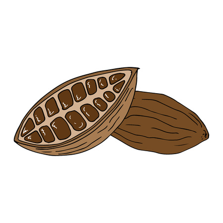 Cocoa beans. Cut fruit of cocoa tree. Vector illustration. Hand drawn cocoa beans. Illustration