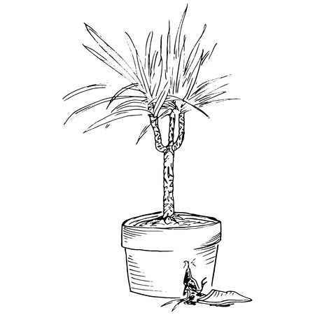 Vector image of domestic plants in broken pots. Palm in a pot with roots. Houseplant in a pot. Hand drawn palm in the pot. Dracaena houseplant in a pot. Illustration