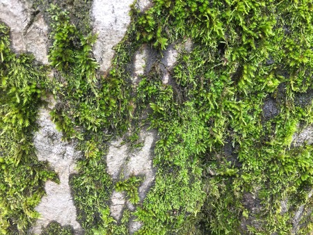 Background Green moss on the bark of a tree.