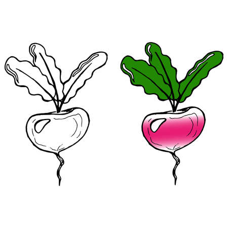 Hand drawn turnips, radish, beets. Vector illustration of a beet with a tops. Doodle beet, turnips, radish with green tops of vegetable.