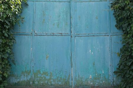 Old metal blue gate. Metal gates with damaged blue paint. Gate entwined with leaves.