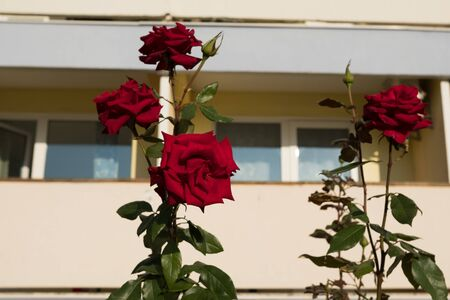 Red rose bush outdoors. Beautiful fresh rose. Rose bush with buds.