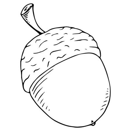 Acorn. Vector illustration of an oak acorn. Hand drawn acorn.