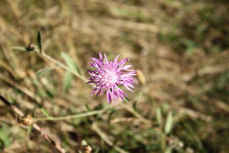 Fleur délicate parmi l & # 39 ; herbe séchée Banque d'images - 86269375
