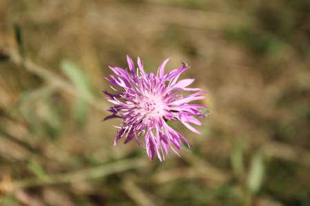 Fleur pourpre parmi l & # 39 ; herbe séchée Banque d'images - 86269376