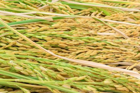 paddy, rice in closeup Stock Photo