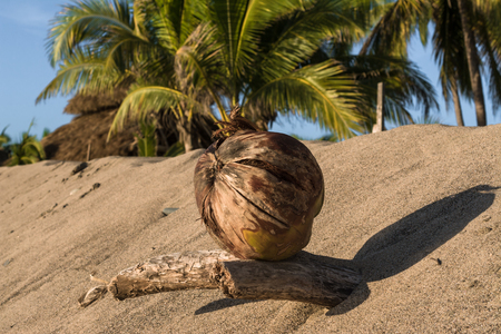 The coconut is held in a dry trunk.