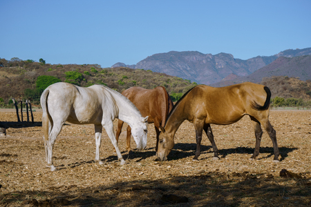 The horses are feeding in the field of Mascot Jalisco Mexico.