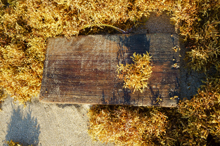 A piece of wood is surrounded by sargassum that has just reached the shore of the beach.