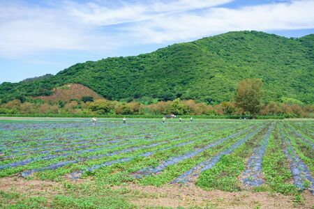 A group of farmers are spraying the tomato field.