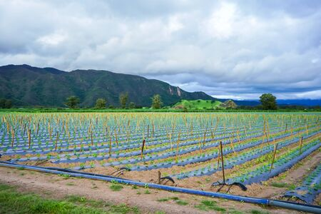 Landscape of planting tomatoes and mountains.
