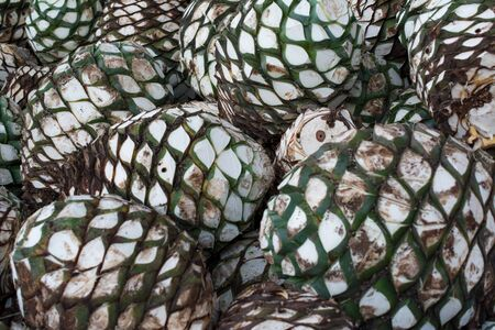 The agave to make tequila is piled up. 스톡 콘텐츠