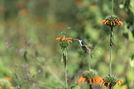 The hummingbird is approaching the orange flower to take its pollen.