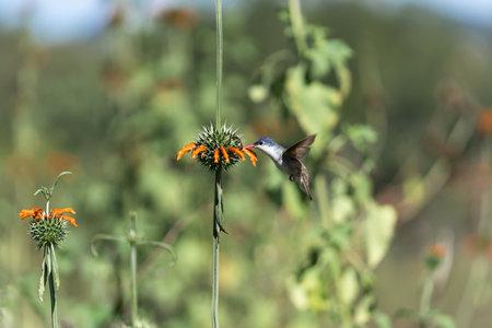 The hummingbird is feeding on the pollen of the orange flower.