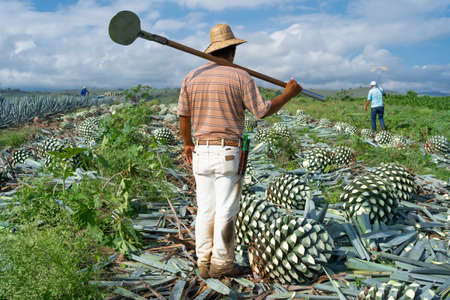 Jalisco Tequila, the peasants have cut the agave in the field and are retreating.
