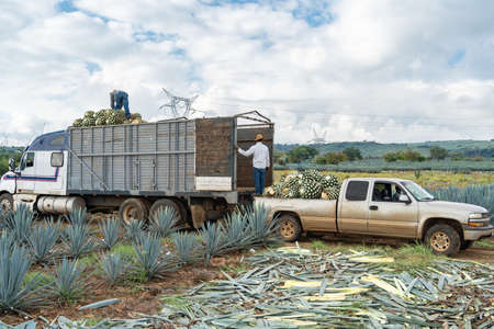 The farmers are passing the agave from the truck to the truck to take it to the factory.