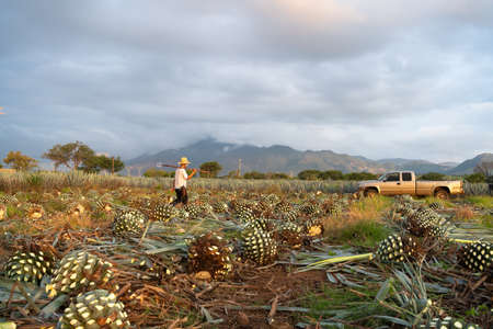 The farmer is walking through the agave field.