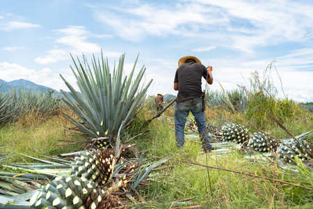The farmer is working in the agave field in Tequila Jalisco.