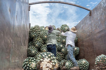 The farmers are throwing the agave on top of the truck. 免版税图像