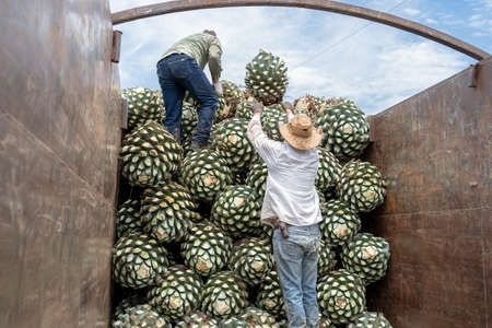 The farmers are placing the agave in the truck. 免版税图像