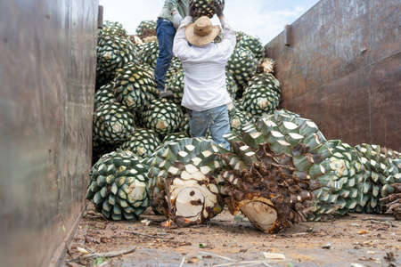 The farmers are passing the agave on top of the truck.