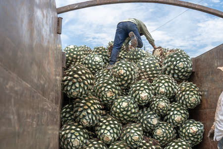 The farmers are working with the agave in the truck. 免版税图像
