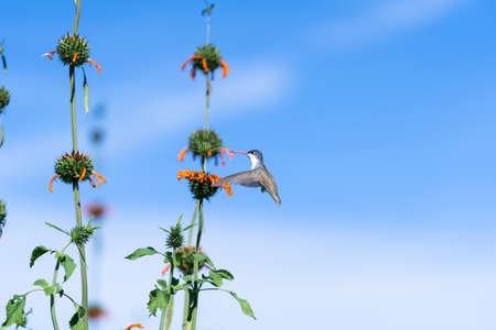 The hummingbird is approaching the flower to feed.