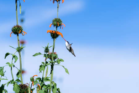 The hummingbird is approaching the flower to take its pollen.