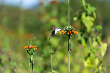 The hummingbird is next to the flower taking its pollen.