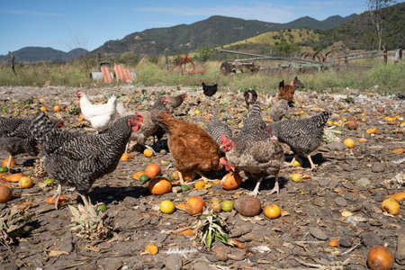 Chickens eat fruits on the farm in the countryside.
