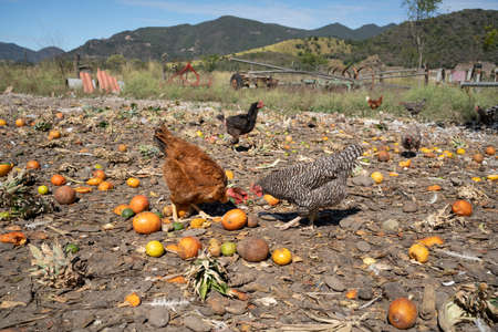 Two chickens are eating fruits on the farm.