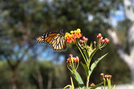 The Monarch butterfly is feeding on the flowers. 免版税图像