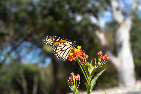 The Monarch butterfly is feeding on the milkweed flower. 免版税图像