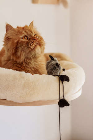 Brown and white persian cats sitting in different places and playing