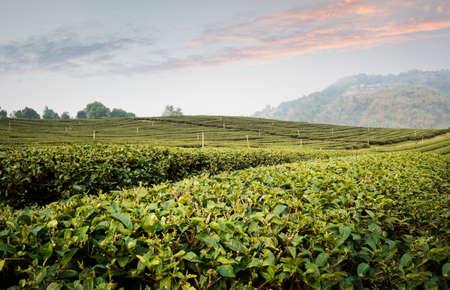 Tea plantation landscape at sunset.