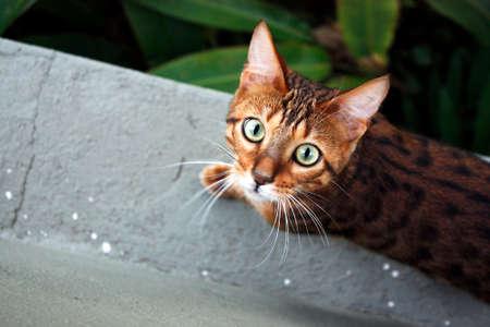 ojos verdes: gato de bengala ojos verdes Foto de archivo