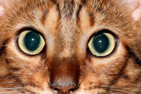 ojos verdes: gato de bengala abiertos los ojos verdes grandes Foto de archivo