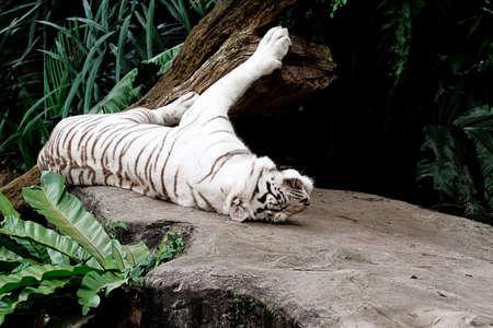 Albino Bengal tiger lying down Stock Photo