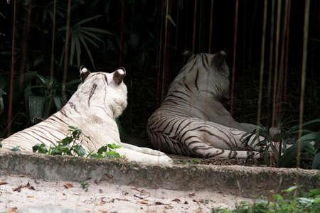 two  Albino Bengal tiger lying down Stock Photo