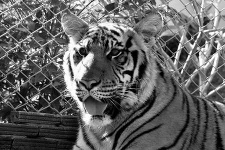 lengua afuera: tiger stare looking tongue out black white Foto de archivo